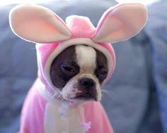 How much longer ??? Easter Dog I am not! #easterbunnydog