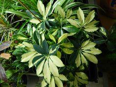 Echeveria 39 hummel 39 arrosage 1 fois semaine en t laisser la terre s cher entre les for Plantes vertes appartement