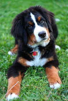 Bernese mountain dog-19 weeks | by veronique.potvin