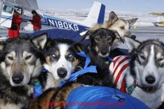 Alaskan athletes come in many forms, some two legs, some four! Sled dogs ready for  the 2012 Iditarod - The Last Great Race.