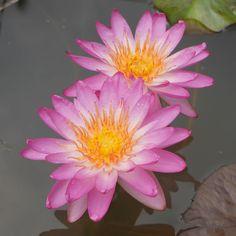 ISG Waterlilies #waterlily #ISG