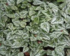 Plants for winter pots & containers: Cyclamen hederifolium, www.growingnicely.co.uk
