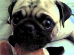 Funniest Pug Video.... so cute! this made me giggle :)