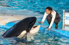 The remarkable story of a remarkable whale held captive for four decades World Discovery, Animal Habitats, Ocean Creatures, Killer Whales, Sea World, Endangered Species, Marine Life, Animal Kingdom, Dolphins