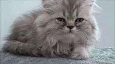 Funny and Cute Persian cat Persian, Singing, Cats, Funny, Youtube, Animals, Gatos, Animales, Animaux