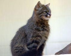 Пампасская кошка. Pampas Cat (Leopardus Pajeros)