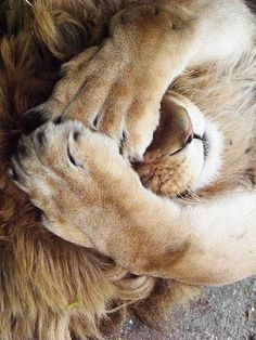What's going on with my sweets. I want to talk to you. - Lustig Tiere - What's going on with my sweets. I want to talk to you. Cute Baby Animals, Animals And Pets, Funny Animals, Beautiful Cats, Animals Beautiful, Big Cats, Cute Cats, Funny Lion, Lion And Lioness