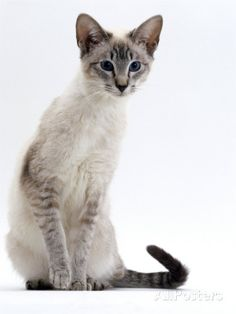 Domestic Cat, Young Tabby Point Siamese Lámina fotográfica por Jane Burton na AllPosters. Siamese Kittens, Cats And Kittens, Funny Kittens, Bengal Cats, Adorable Kittens, Cats Bus, Ragdoll Cats, Pretty Cats, Beautiful Cats