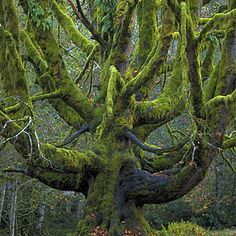 Top wow spots of Olympic National Park | Old Big Leaf Maple Trees