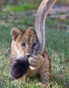~~Best Toy? Moms' tail... | lion cub having a chew by spw11~~