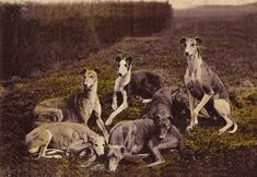 A vintage photo of Greyhounds. Contrary to popular belief, Greyhounds most enjoy doing what these dogs are doing: relaxing. They aren't called 45 mph couch potatoes for nothing.