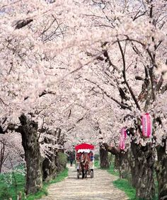 Viewing the blossoms from a horse-drawn carriage in Kitakami City, Iwate