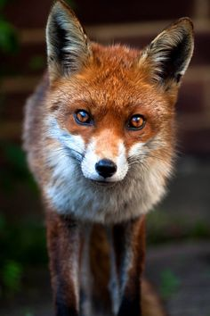 Urban Fox Portrait by Gemma Malenoir