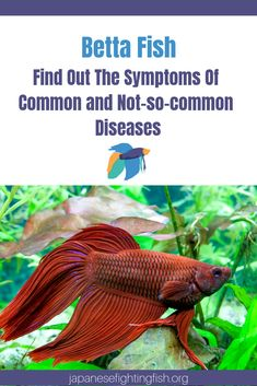 Nearly every betta fish owner knows the telltale signs of common diseases that affect this species. But what about the symptoms that most sources don't tell you? 