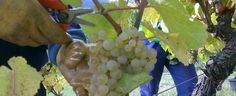Dates des Vendanges 2013 en Alsace #DrinkAlsace