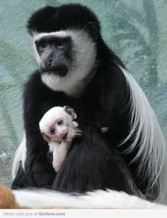 Mother and baby Colobus monkeys