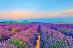 Explore the lavender fields in the USA. See the purple fields in Blanco Texas, a short drive from Austin, every June. Texas Hill Country, Hill Country Resort, Hill Country Homes, Zoo Park, Road Trip Essentials, Road Trip Hacks, Road Trips, Belle France, Disney Cruise Tips