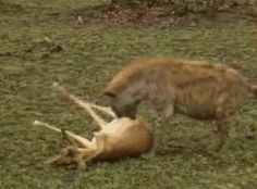 Cheetah and Hyena fight over a 'dead' deer. until...