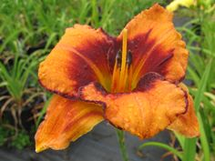 Daylily All American Tiger