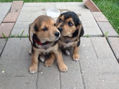 Copper and Shiloh, our Beagle Lab Mix puppys.