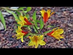 लिलि (Lilly) Fruit And Veg, Vegetables, Flowers, Plants, Garden, Garten, Fruits And Vegetables, Veggies, Vegetable Recipes