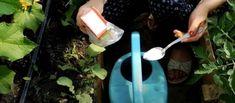Jedlá soda – zachránce do vaší zahrady: Nejlepší hnojivo pro okurky, rajčata i lilek – stačí půl litru ke každé rostlině, to je vše! – Domaci Tipy Gardening, Sun, Plant, Lawn And Garden, Horticulture