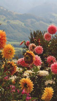 Oh what a beautiful setting for a garden of Dahlia flowers. Nature Aesthetic, Flower Aesthetic, Aesthetic Yellow, Aesthetic Collage, Summer Aesthetic, Flower Wallpaper, Wallpaper Backgrounds, Digital Backgrounds, Wallpaper Desktop