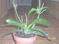 Multiplication et division des orchidées                                                                                                                                                                                 Plus