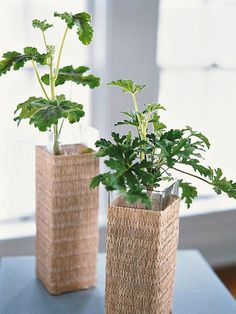Scented Geranium - Love these ideas for fragrant houseplants!