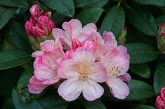 Thank you for taking a look at one of our several hundred Hybrid Rhododendrons we have for sale on Etsy and our website! At RhododendronsDirect.com, all we do is Rhododendrons!    Product Description    Bloom Color:  Pink and White    Bloom Season:   Mid-Season    Plant Height(potential in 10 years): Three Feet    Hardy to: -5    Rhododendron of the Year:  2004 North West  Container Size/Age:  Seven Gallon Plant -  These rhododendrons are typically rooting into a seven gallon container or…