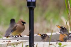 Robins & Cedar Waxwings Converge on the Pond Cedar Waxwing, Pictures Of The Week, Horde, Robins, Backyard, Animals, Animales, Yard, Animaux