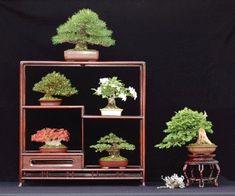 miniature bonsai, bonsai display, suthin, mame