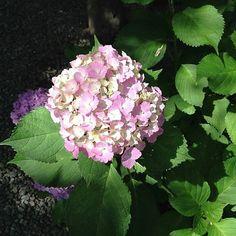 Kamakura: Flowers, Hydrangea, 花, あじさい