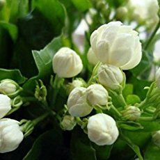 Cheap seeds sativa, Buy Quality seeds drugs directly from China seed manufacturers Suppliers: 20 / bag, balcony potted jasmine flower seeds are easy to plant the seeds of four seasons, indoor plants perennial flower seeds Hydrangea Seeds, Flower Seeds, Flowers Perennials, Planting Flowers, Flower Plants, Flower Diy, Rare Flowers, Beautiful Flowers, Jasmine Plant Indoor
