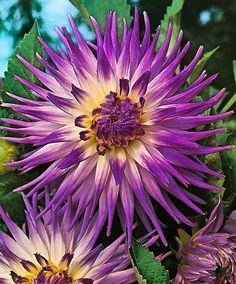 ~~ Large-Flowered Dahlia 'Veritable' ~~