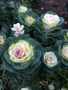 Flowering Kale (White Crane) Seeds bought from William Dam Seeds, Ont. Cabbage Plant, Cabbage Roses, Succulent Gardening, Garden Plants, My Flower, Flower Pots, Flowering Kale, White Crane, Garden Spaces