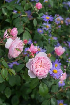 'Wisley 2008' | Shrub. English Rose Collection. Bred by David C. H. Austin (United Kingdom, before 2008)