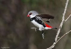 Diamond Firetail. Photo by @greepo73 #boa_greepo73 Photo selected by @formerlagirl. Thank you for following and tagging #birdsofaustralia.