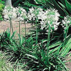 Agapanthus orientalis  Dwarf White has a profusion of pure white flowers on short stems from early spring to mid summer. Perfect for low maintenance borders. Prefers a full sun position, will tolerate part shade however%...