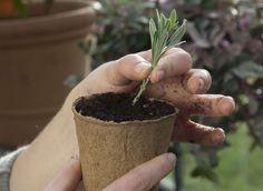 Comment bouturer la lavande ? Un technique simple pour multiplier cette plante à bon compte.