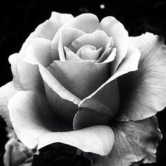 realistic black and grey rose - Google Search