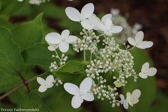 Versoja Vaahteramäeltä: Valkoisen lumoa Plants, Plant, Planets