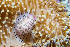 shell on soft coral by scubaschnauzer, via Flickr