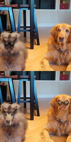 Funny Animals- faceswap. Funny but the cat needs a hair cut but I guess that is what makes it funny!