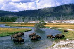 Bison ford the Firehole River in Yellowstone National Park, Wyoming. Photo Randall K. Roberts www.pinterest.com/BonnieWPhotos/