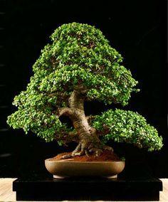 Portulacaria afra is easy to develop as a jade bonsai, much easier than the larger leaf jade-Crassula argentea. Jade Bonsai, Succulent Bonsai, Indoor Succulents, Flowering Bonsai Tree, Indoor Bonsai Tree, Bonsai Plants, Bonsai Garden, Bonsai Trees, Planter Garden