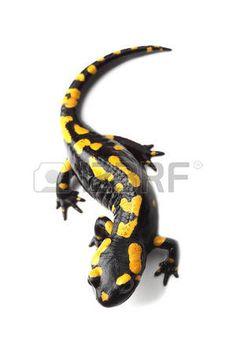 salamander%3A+Vuur+salamander+salamandra+op+wit