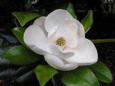 Flor magnolia escrito em Arabe