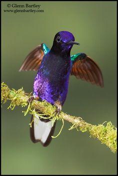 Velvet-purple Coronet - Ecuador 2014 Trip Report » Focusing on Wildlife