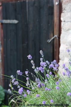 the lavender we like